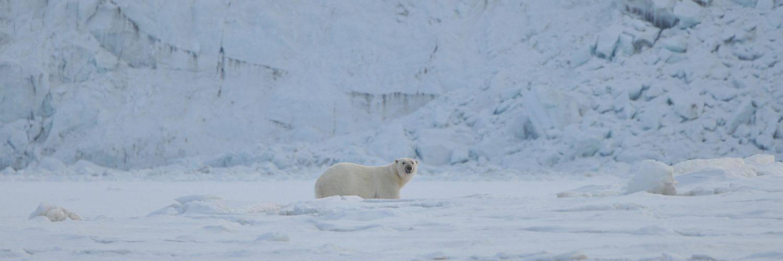 Spitzbergen-Kreuzfahrten-Eisbär-im Schnee