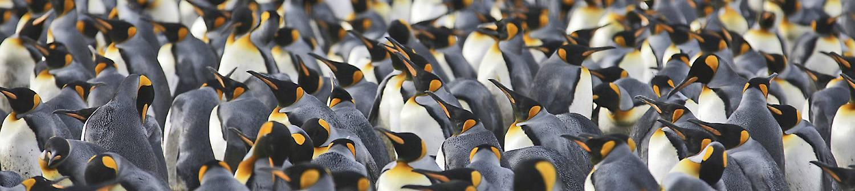 antarktis-reise-koenigspinguine-sued-georgien