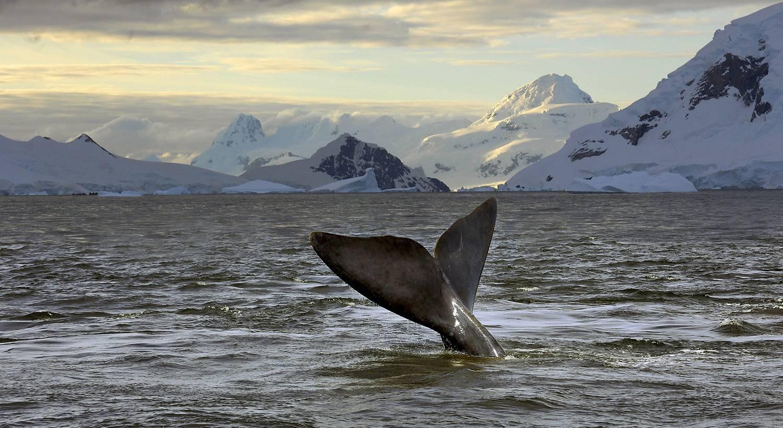 walfluke-vor-antarktis-kueste
