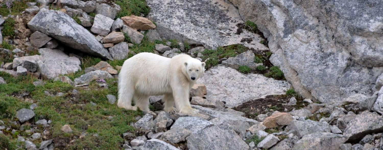 eisbaer-sichernd-auf-spitzbergen