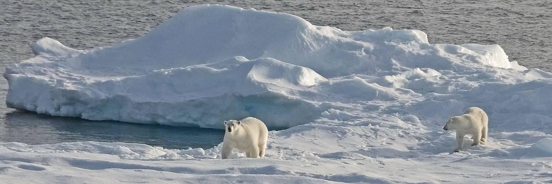 Auf dem Meereis sind Eisbären ständig auf der Suche nach Robben- ihrer wichtigsten Beute.