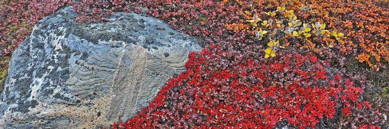 Herbstvegetation in Spitzbergen