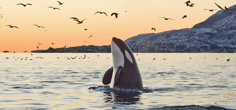 Orca und Möwen