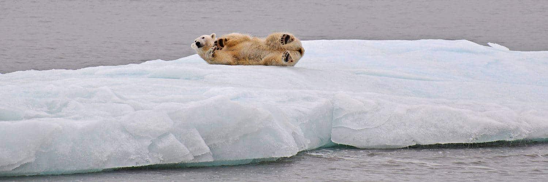 Auf einer Eisscholle sich räkelnder Eisbär