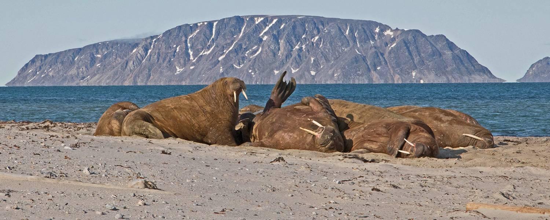 Dicht gedraengt auf einer Sandbank ruhende Walrosse