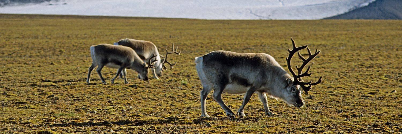 Spitzbergen Rentiere - im Spätsommer gut genährt.