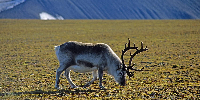 Weidendes männliches Spitzbergen Rentier auf der Tundra